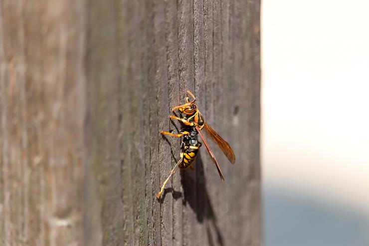 蜂(アシナガバチ)の画像