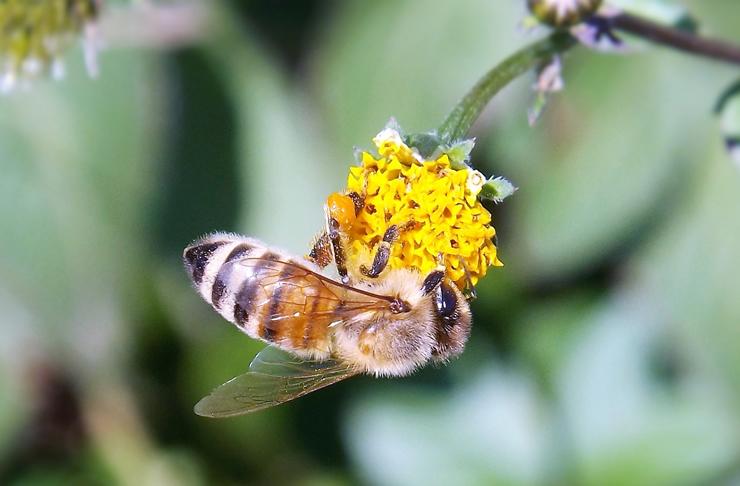 蜂(ミツバチ)の画像