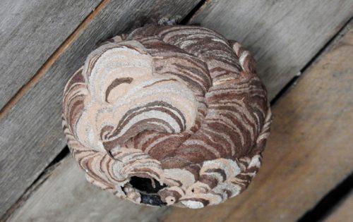 大きく成長したスズメバチの巣