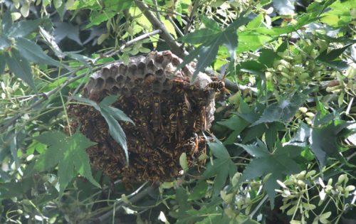 二度と作らせない!蜂の巣が小さいうちにやっておきたい対処法