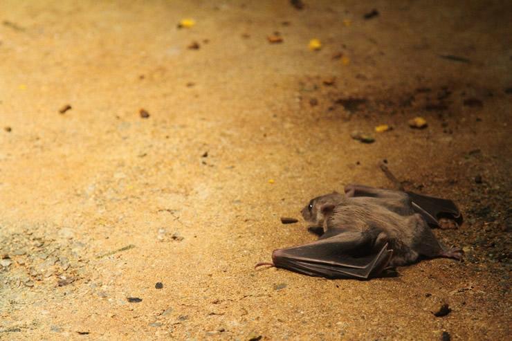 掃除してもキリがない!コウモリのふん害を一発で解消する対処法