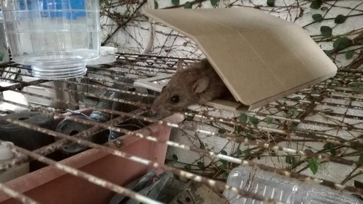 コウモリの糞より怖い「ネズミの糞」