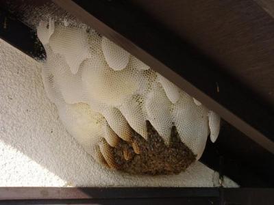 ミツバチの巣(大阪府箕面市オフィシャルWEBサイトより引用)