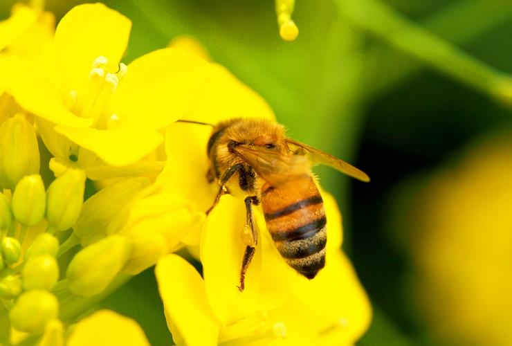 ミツ蜂(ミツバチ)