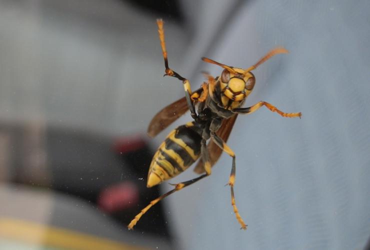 あしなが蜂(アシナガバチ)