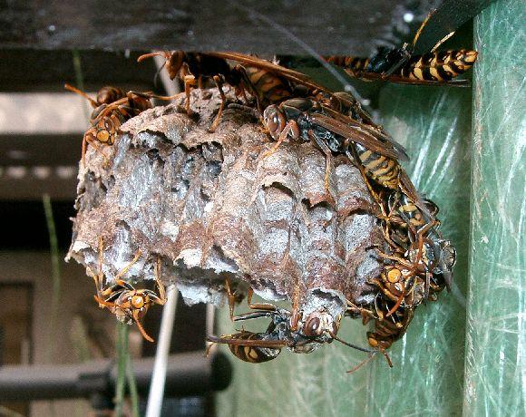 セグロアシナガバチと巣(Wikipediaより引用)