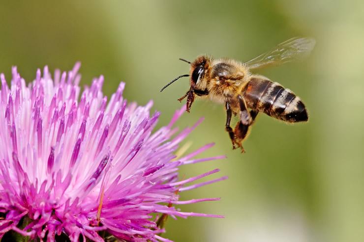 画像:Wikipedia『ミツバチ』より引用