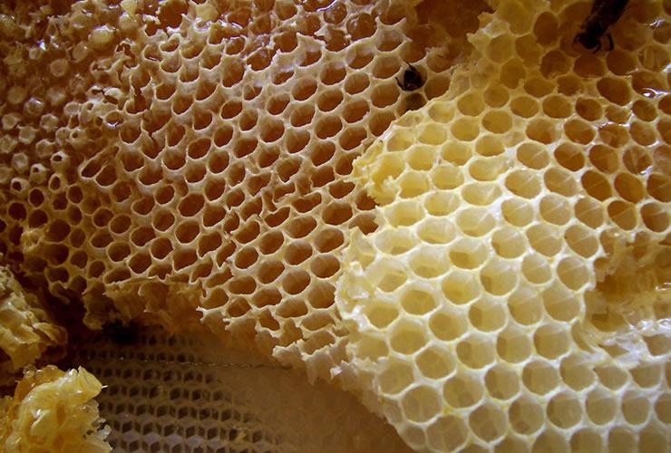 蜜蜂(ミツバチ)の巣