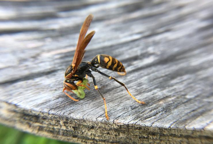 足長蜂(アシナガバチ)