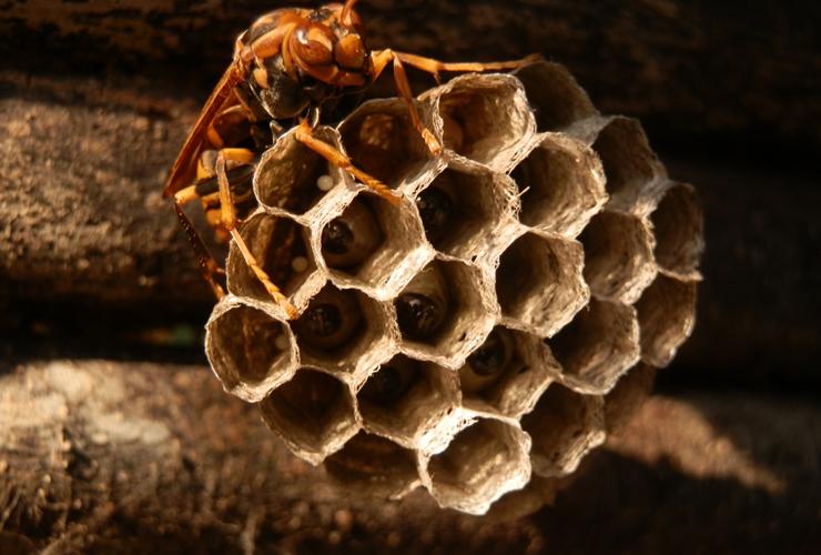 アシナガバチは、下方へ巣穴が露出する『シャワーヘッド』のような巣