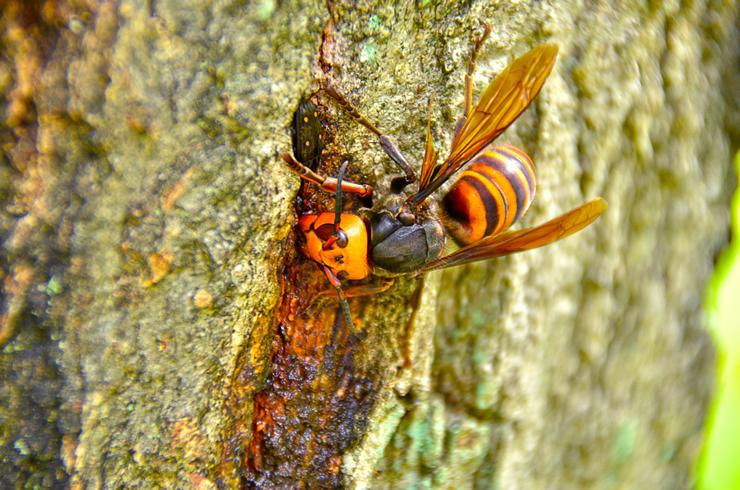 雀蜂(スズメバチ)