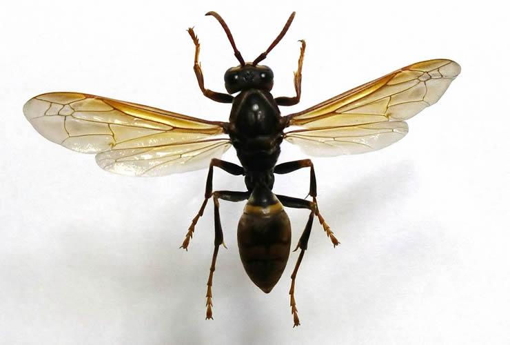 画像:セグロアシナガバチの標本(Wikipediaより引用)