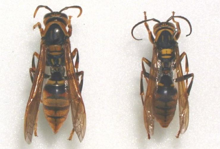 画像:キアシナガバチ(weblio辞書より引用)