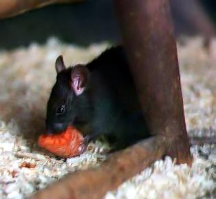 画像:クマネズミ(Wikipediaより引用)
