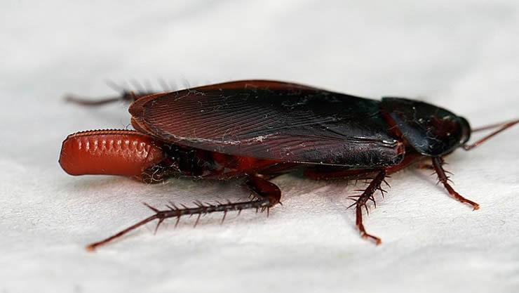 画像:「クロゴキブリの画像」Wikipediaより転載