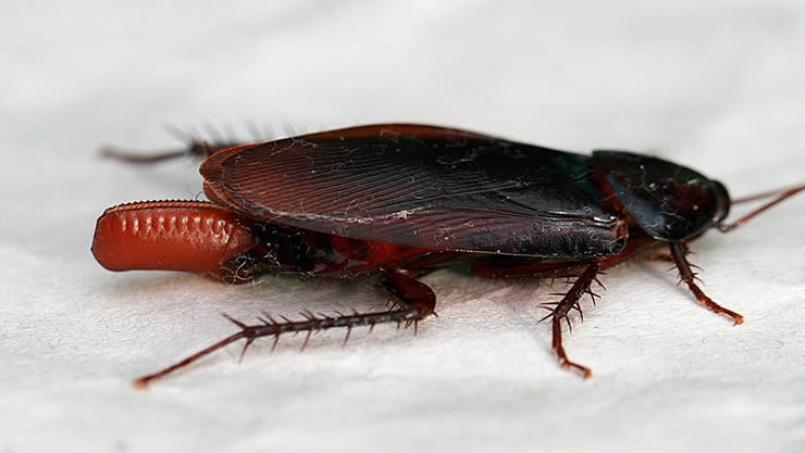 画像はクロゴキブリと卵鞘(Wikipediaより)