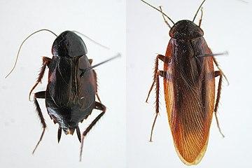 画像:ヤマトゴキブリ(名古屋市オフィシャルWEBサイトより転載)