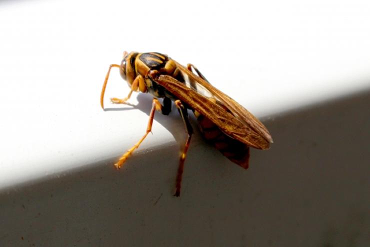 アシナガバチ駆除完全ガイド!自力駆除法や優良業者判別法を徹底解説