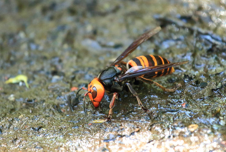 危険度NO.1のオオスズメバチ