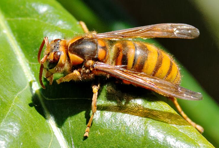 事故数の多いキイロスズメバチ