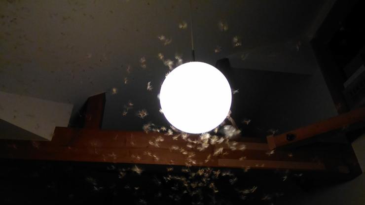 羽アリの走行性