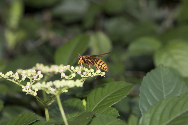 スズメバチ(画像は攻撃性の高いキイロスズメバチ)