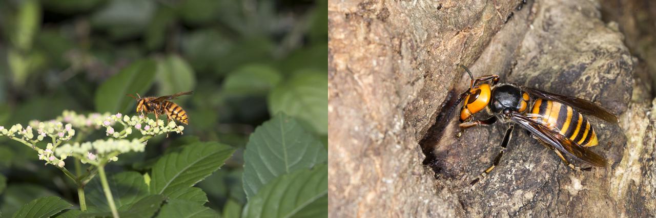 スズメバチとオオスズメバチ比較