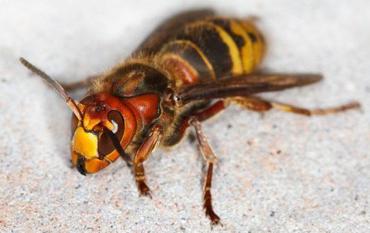 スズメバチの巣は自力駆除できる!プロも実践している駆除方法のすべて