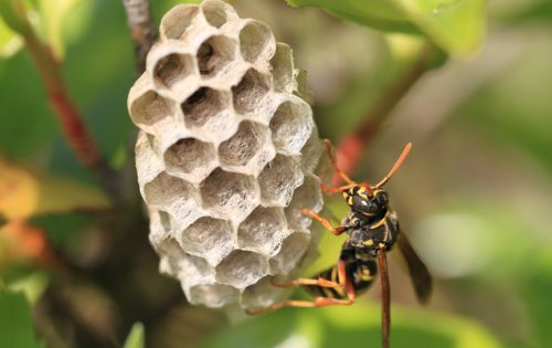 アシナガバチの巣駆除は見極めが重要!プロが行う正しい駆除の手順