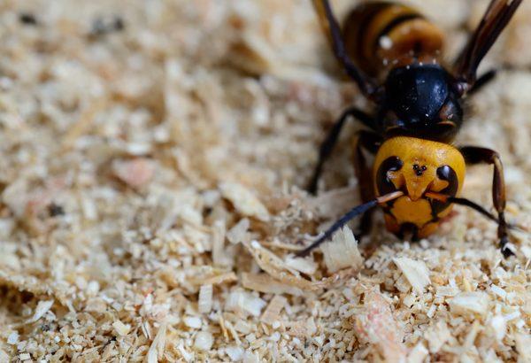 スズメバチの巣は初期に叩け!巣が巨大化する前に駆除する方法