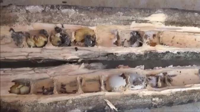 クマバチが枯木に穴を開けている様子