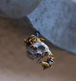 キイロスズメバチの初期の巣
