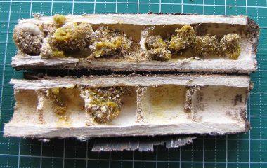クマバチの巣