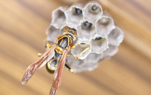 絶対に刺されない!アシナガバチの巣を安全に駆除する確実な方法