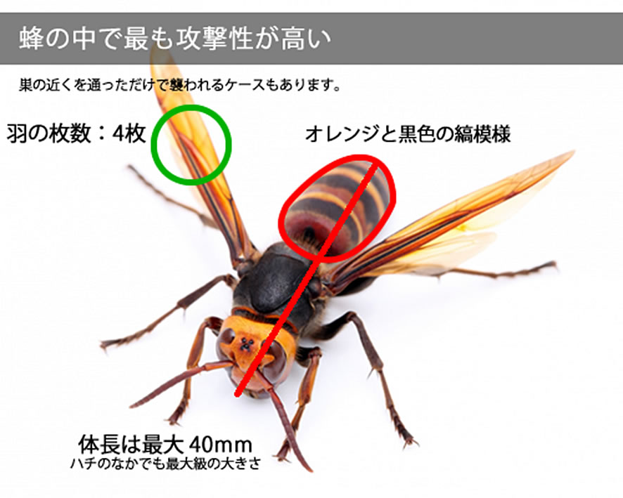 スズメバチは蜂の中で最も攻撃性が高い
