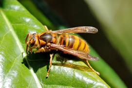 キイロスズメバチを安全に自力駆除する方法と2度と作らせないコツ