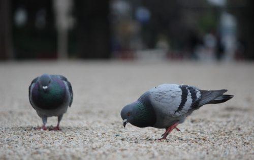 鳩を殺すのは犯罪!法律にふれることなく鳩を撃退する方法