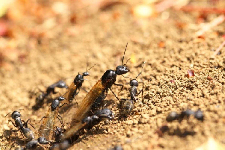 黒蟻の羽アリ