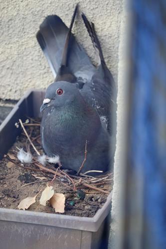 巣材が少ないドバトの巣