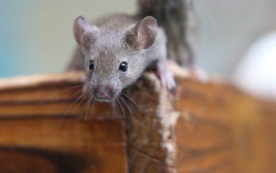 【駆除業者監修】ネズミはバルサンで駆除可能か!?効果と対策完全ガイド