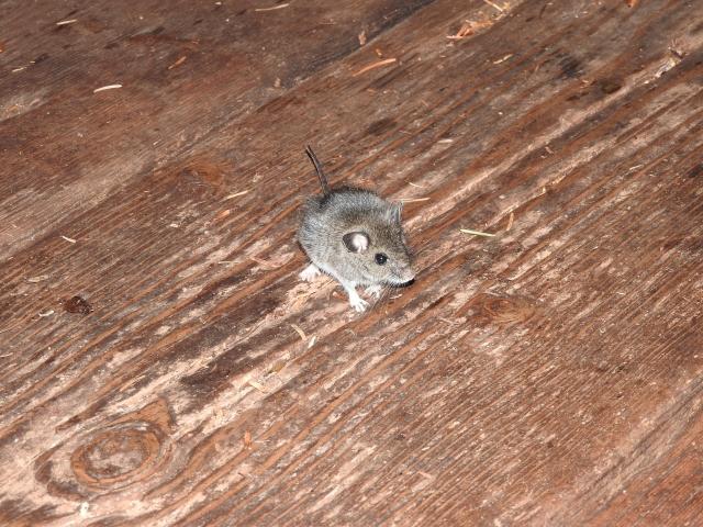 【画像付】ネズミの足跡判別法~簡単に追い出す為にやっておきたい事