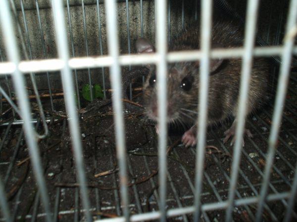 気持ち悪いだけじゃない!ネズミの危険な害を総まとめ&必須対策2選