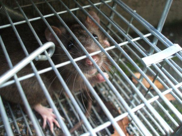 この鳴き声はネズミ?声の正体を簡単に特定する方法と必須対策2選