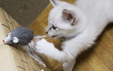 猫はネズミを食べる